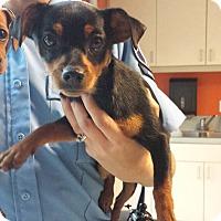 Adopt A Pet :: Derby - Westminster, CA
