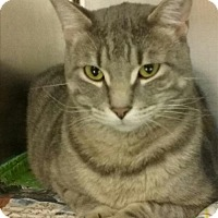 Domestic Shorthair Cat for adoption in Sheboygan, Wisconsin - Muggs