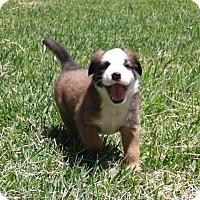 Adopt A Pet :: Trinity - Copperas Cove, TX