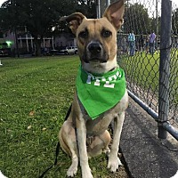 Adopt A Pet :: Ollie Dusk - Houston, TX