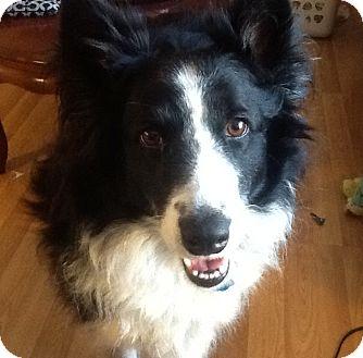 Border Collie Dog for adoption in Kingwood, Texas - Trinity