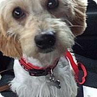 Adopt A Pet :: Scottie - Kingwood, TX