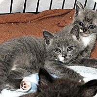 Adopt A Pet :: Squeakie 2 - Plainville, MA