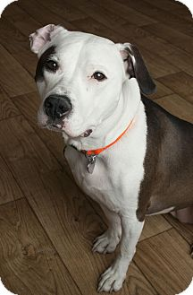 Pit Bull Terrier Mix Dog for adoption in Minnetonka, Minnesota - Leeloo