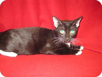 Domestic Shorthair Cat for adoption in Houston, Texas - Mc Gee