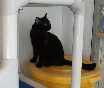 Domestic Shorthair Cat for adoption in Geneseo, Illinois - Pogo