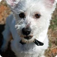Adopt A Pet :: Dutch - Norman, OK