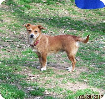 Norfolk Terrier/Chihuahua Mix Dog for adoption in Brookside, New Jersey - KRISSY