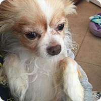 Adopt A Pet :: Gizmo2 aka Little Mr - Las Vegas, NV