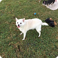 Chihuahua Mix Dog for adoption in Loxahatchee, Florida - Toby