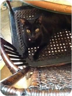 Domestic Shorthair Cat for adoption in Wenatchee, Washington - Jingles