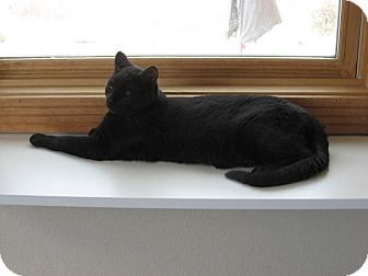 Domestic Shorthair Kitten for adoption in Ridgway, Colorado - Finnegan