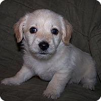 Adopt A Pet :: Clyde - La Habra Heights, CA
