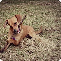 Adopt A Pet :: Peanut - Dallas, TX