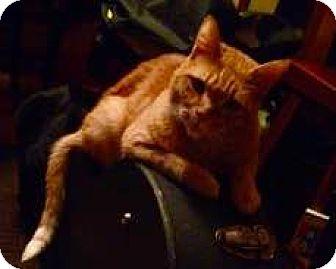 Domestic Shorthair Cat for adoption in Portland, Oregon - Banning