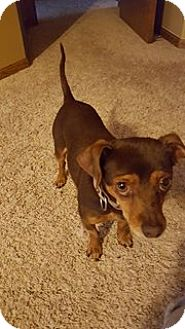 Chihuahua Mix Dog for adoption in Lakeville, Minnesota - Speedy
