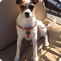 Adopt A Pet :: Sophie in Dallas - Dallas/Ft. Worth, TX