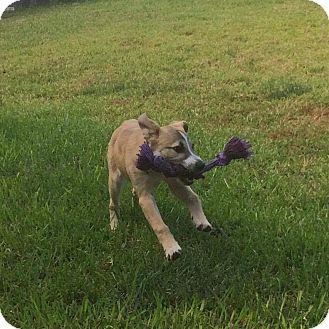 Shepherd (Unknown Type) Mix Puppy for adoption in Austin, Texas - Riley