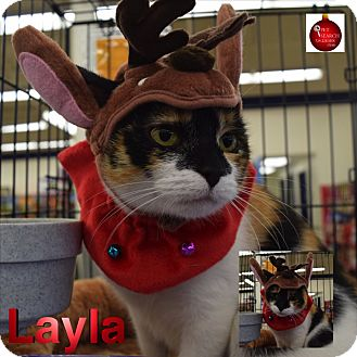 Domestic Shorthair Cat for adoption in Washington, Pennsylvania - Layla