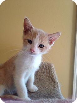 Domestic Shorthair Kitten for adoption in Bridgeton, Missouri - Frank