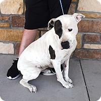 Adopt A Pet :: Abby - Artesia, NM