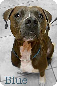American Pit Bull Terrier Mix Dog for adoption in Tampa, Florida - Blue