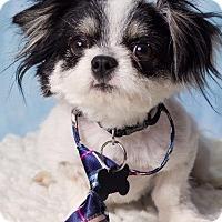Adopt A Pet :: Lefou - Gilbert, AZ