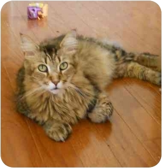 Maine Coon Cat for adoption in Elkton, Maryland - Gorgeous Polydactyl Maine Coon
