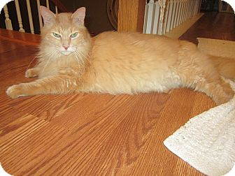 Maine Coon Cat for adoption in Easley, South Carolina - Tawny