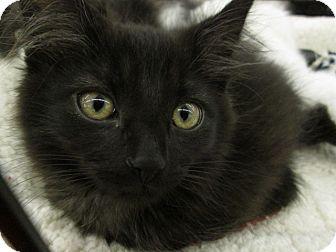 Domestic Longhair Kitten for adoption in Richland, Michigan - Baloo