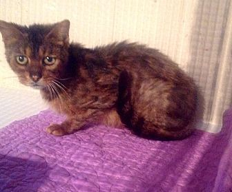 Bengal Cat for adoption in Zolfo Springs, Florida - Fran