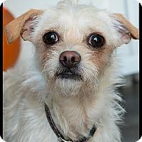 Adopt A Pet :: Chapo - Pierrefonds, QC