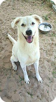 Golden Retriever Mix Dog for adoption in Jacksonville, Florida - Casper