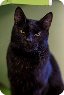 Domestic Shorthair Cat for adoption in Indianapolis, Indiana - Steve Austin