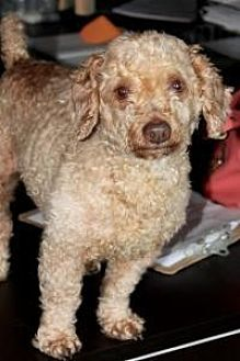 Poodle (Standard) Dog for adoption in Memphis, Tennessee - Sassy