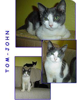 Domestic Shorthair Kitten for adoption in Bunnell, Florida - Tom-John