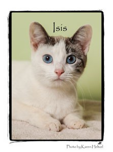 Domestic Shorthair Kitten for adoption in Warren, Pennsylvania - Isis