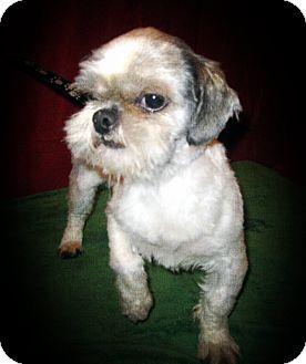 Shih Tzu Dog for adoption in Prole, Iowa - Wall-E
