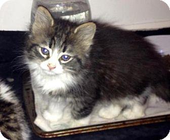 Domestic Mediumhair Kitten for adoption in Troy, Michigan - Princess Fielder