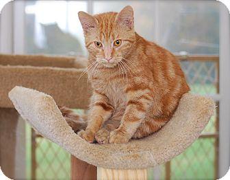 Domestic Shorthair Kitten for adoption in Trevose, Pennsylvania - Red