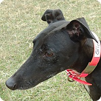 Greyhound Dog for adoption in Longwood, Florida - Move Yourself