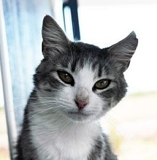 Manx Cat for adoption in Alamogordo, New Mexico - MRS. PENNY