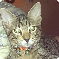 Domestic Shorthair Cat for adoption in Richardson, Texas - Tesla