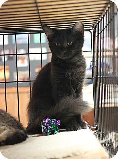 Domestic Mediumhair Kitten for adoption in Carlisle, Pennsylvania - Hershey