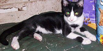 Domestic Shorthair Kitten for adoption in Morriston, Florida - Tux