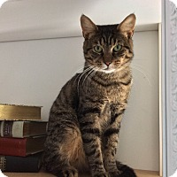 Domestic Shorthair Cat for adoption in Jersey City, New Jersey - Tycoon