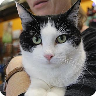 Domestic Shorthair Cat for adoption in Littleton, Colorado - Stardust