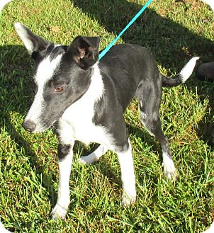 Border Collie Mix Puppy for adoption in Reeds Spring, Missouri - Gilbert