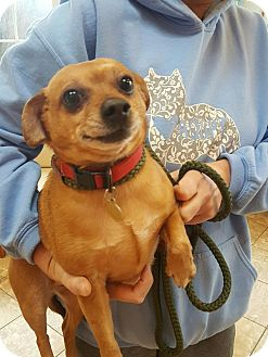 Chihuahua Mix Dog for adoption in Rockaway, New Jersey - Oscar