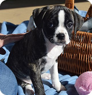Labrador Retriever/Boxer Mix Puppy for adoption in East Windsor, Connecticut - PAMELA-ADOPTED